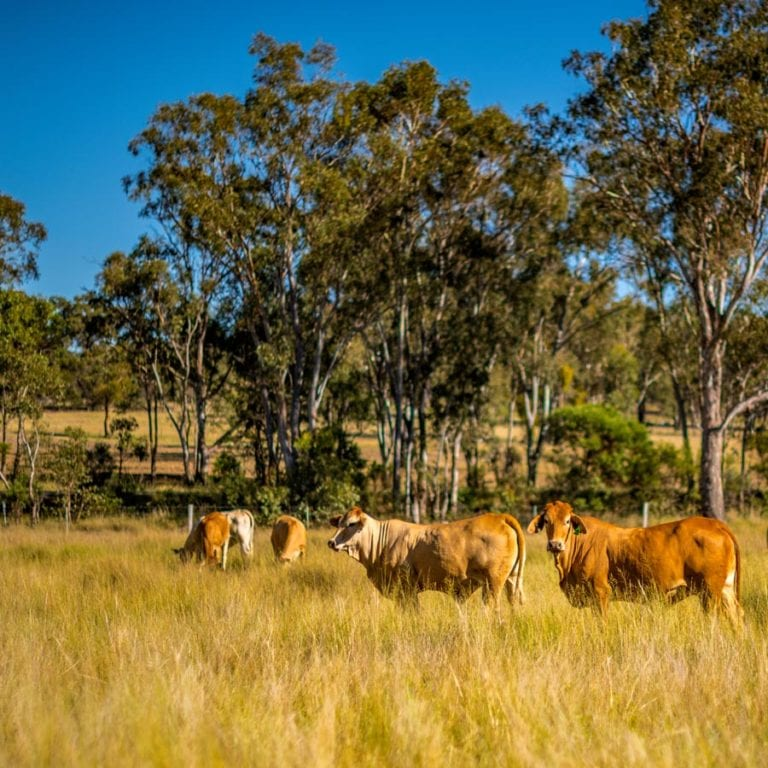 beef herd management carbon farming Australia